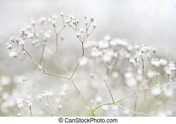pequeno, flores brancas, defocused, (gypsophila)