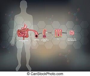 pequeno, forro, detalhado, intestino, anatomia