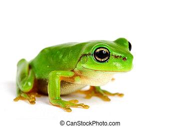 pequeno, fundo branco, tree-frog