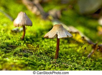 pequeno, fungo, crescendo, em, a, verde, musgo