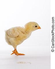 pequeno, galinha