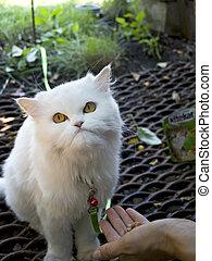 pequeno, gato branco, comer, carne
