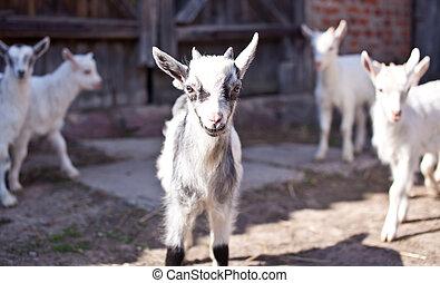 pequeno, goatlings