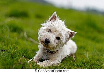 pequeno, inclinando cabeça, cão, branca, seu