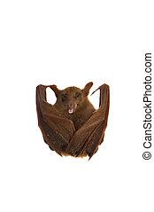 pequeno, morcego
