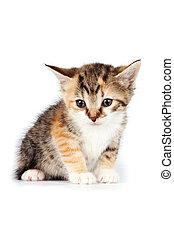 pequeno, multi-colorido, gatinho