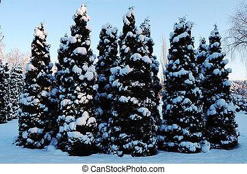 pequeno, neve, fir-trees, coberto