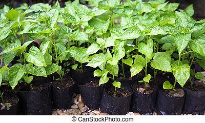 pequeno, pimentão, sapling, árvore, em, garden., pequeno, planta verde, pimentão, sapling, agricultura, concept.
