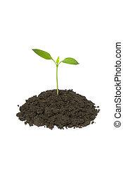pequeno, planta