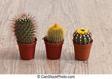 pequeno, planta cactus