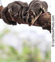 pequeno, possum, ou, açúcar, planador