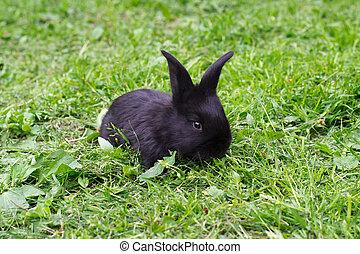 pequeno, pretas, coelho