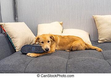 pequeno, retriever, cão, sofá, dourado, cama, chinelo, morder