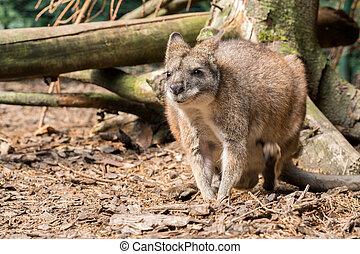 pequeno, vermelho, necked, wallaby