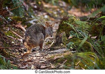 pequeno, wallaby, em, a, floresta