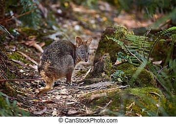pequeno, wallaby, floresta