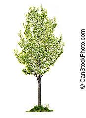 pera, árbol floreciendo, aislado