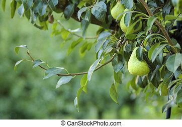 peras, en, un, árbol