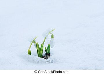 perce-neige, doux, neige blanche