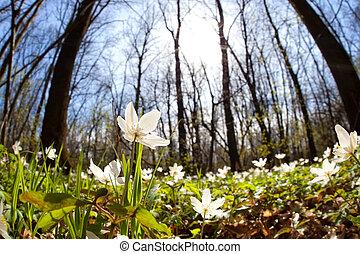 perce-neige, fleurs, ensoleillé, forêt, anémone