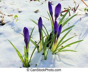 perce-neige, fleurs, neige