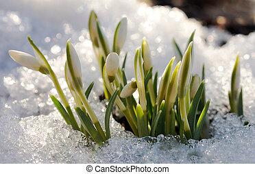 perce-neige, jeter étincelles, fondu, neige