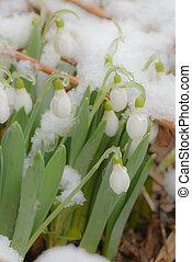 perce-neige, neige, printemps