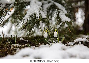 perce-neige, premier, neige, sous