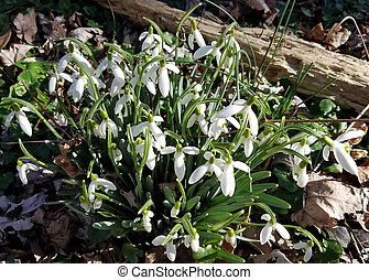 perce-neige, printemps, fleurir