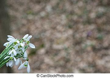 perce-neige, printemps, forêt