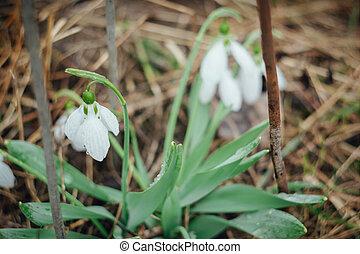 perce-neige, printemps, premier