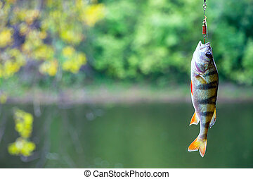 River perch on the hook - Perch caught in a spoon-bait....