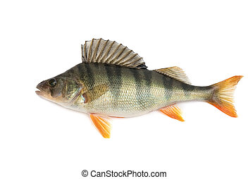 Perch - Fish, perch - isolated on white background.