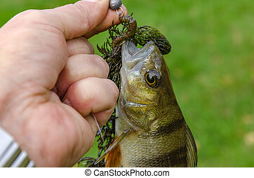 Perch in the hands of the fisherman