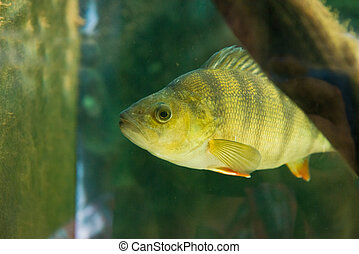 Perch - Perca fluviatilis - fresh water fish - Perch - Perca...
