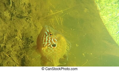 Perch under water in the river.