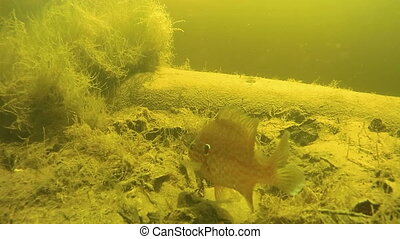 California perch swims under water in the river close-up. Perch swim near the sandy river bottom between algae. Yellow sand reflects the rays of the bright sun under water.