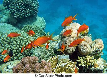 percha, coral, rojo