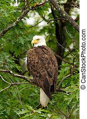 perched, águila, calvo, árbol, salvaje
