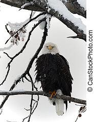 perched, águila, calvo, rama