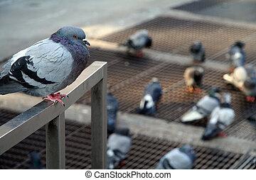 perched, рельс, голубь
