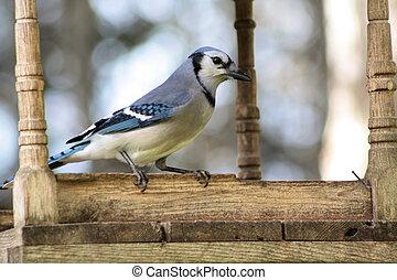 perched, alimentador, bluejay