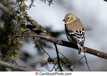 perched, amerikaan, winter, goldfinch