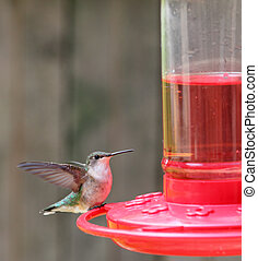 perched, archilochus, hummingbird, ruby-throated, colubris