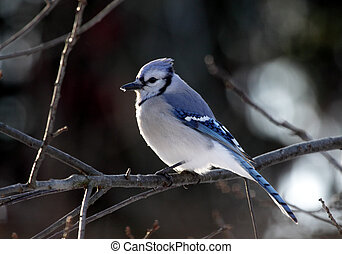 Perched Blue Jay - A blue jay (Cyanocitta cristata) perched...
