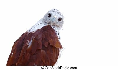 Perched Brahminy Kite Surveys His Surroundings - video...