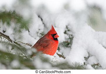 perched, cardinal, árbol, norteño