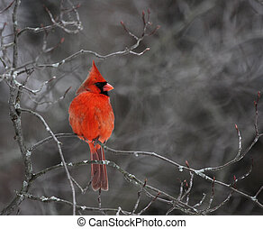 Perched Cardinal - A beautiful red cardinal perched in a ...
