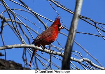 perched, cardinale, albero, rosso