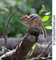 Perched Chipmunk - An Eastern Chipmunk (Tamias striatus )...